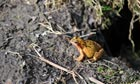 Country Diary archive : Common frog at the end of its winter sleep