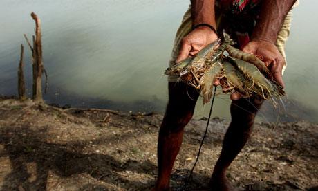 MDG Bangladesh prawn farming