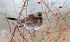 Country Diary : Fieldfare