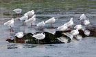 Country Diary : Black-Headed Gulls standing on frozen water
