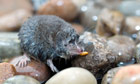 Country Diary : Water Shrew eating an insect