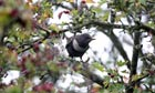 Country Diary Archive : Ring Ouzel or Ousel (Turdus torquatus)