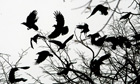 Country Diary : Crows fly through branches of a tree