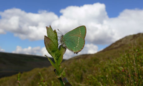 2012 A Disaster Year For UK Butterflies : Green Hairstreak