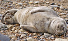 Country Diary : Sleeping grey seal on Roker beach, Sunderland