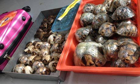 Some of the Ploughshare and Radiated Tortoise seized by authorities in Bangkok airport, tahiland