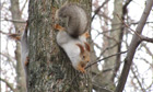 Country Diary : Russian red squirrels