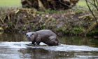 Country Diary : Otter on river Thet