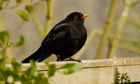 Country Diary : Black bird on fence