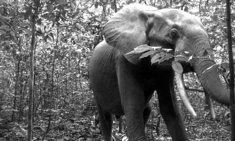 CITES in Bangkok : Elephant in Nouabale Ndoki National Park, Republic of Congo