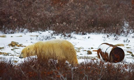 CITES in Bangkok : Polar Bear walking past an oil drum in Churchill, Hudson Bay, Canada