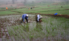 MDG : Rwanda : Dfid project : Farmer weeding rice field