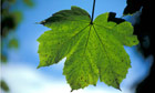 Country Diary Archive : Sycamore leaf with Aphid