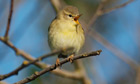 Country Diary : Chiffchaff