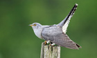 Cuckoo, Cuculus canorus, single bird on post, Midlands, April 2011