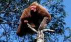 Primates of the World : Red bald-headed uakari
