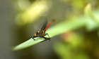 Country Diary : Newly emerged Large Red damselfly, Pyrrhosoma nymphula