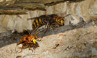 Country Diary Archive : eusocial wasp the Vespa Crabro, commonly known simply as the