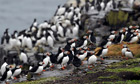 2013 National Trust Puffin census on Farne Island