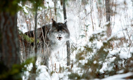 """Wolves are depicted as """"mean ferocious animals and they can tear a man apart real easy"""" on TV, despite evidence to the contrary. Photograph: Alamy"""