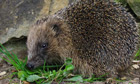 Country Diary : Hedgehog