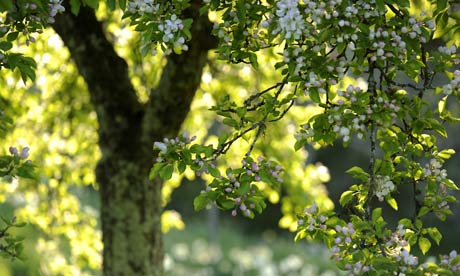 Country Diary : Apple tree in blossom at Cotehele