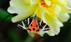The State of Nature : Garden tiger moth rests on rose in Dorset