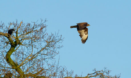 Buzzard in flight in Bedfordshire