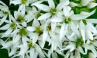 Country diary : wild garlic with ant visitors