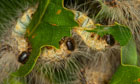 oak processionary moth (Thaumetopoea processionea), caterpillars feeding on oak leaves, Germany