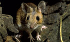 Country Diary : European wood mouse