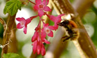 Country Diary : Carder bee on flowering currant