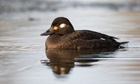Country Diary archive : Velvet Scoter (Melanitta fusca) adult female, swimming, Lancashire