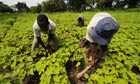 MDG : Biofuel and food security : Employees work in a Jatropha nursery field, Ivory Coast.