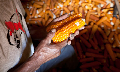 Maize : Close up of the hands of a male Mayan, Guatemalan farmer holding corn or maize