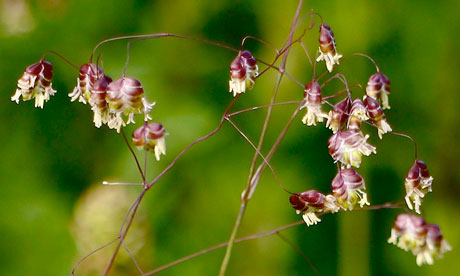 Country Diary : Quaking grass flowers