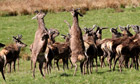 Country Diary : Red deer stags fighting near riverbank of River Findhorn
