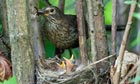 Country Diary :  Blackbird (Turdus merula) at a nest with hungry baby birds.