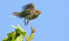 Country Diary : Corn Bunting (Miliaria calandra) bird in flight