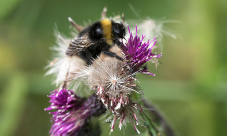 Short-haired bumblebee, Bombus subterraneus