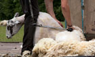Country Diary : Clipping sheep