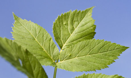 Elder leaf