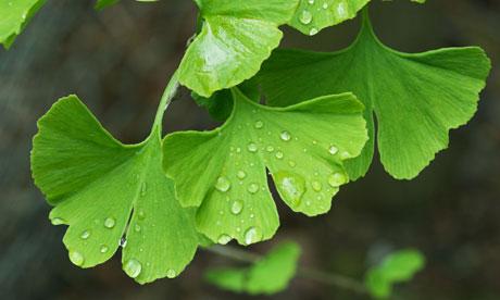 Maiden hair tree leaf