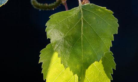 Silver birch leaves (Betula pendula) in spring