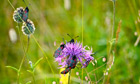 Country Diary : Six-spot burnet moths on greater knapweed flower