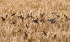 Country Diary Archive : Sparrows in a corn field, Cornwall