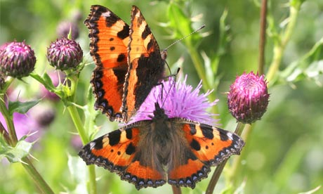 Very detailed macro close-up of a Small Tortoiseshell (Aglais urticae) butterfly posing on a flower