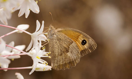 Meadow brown butterfly (Maniola jurtina)