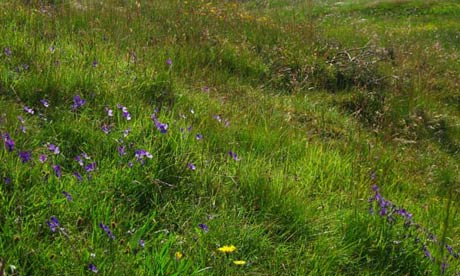 Country Diary : mountain pansies at Bell's Grooves, Allenheads, Northumberland
