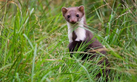 Country Diary : European stone marten